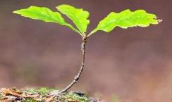 Oak-sapling-Quercus-robur-001