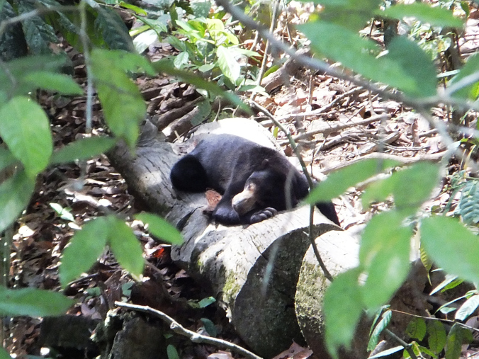 Sun Bear enjoying the sun.